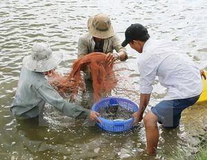 Chênh lệch nhiệt độ ngày và đêm khiến nhiều diện tích nuôi tôm bị thiệt hại