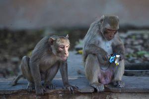 Đàn khỉ trăm con kéo nhau 'đổ bộ' tới thủ đô Ấn Độ