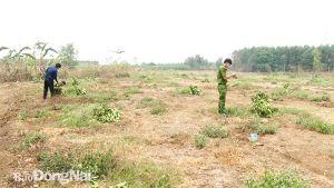 Cần xử lý nghiêm nạn phá hoại cây trồng
