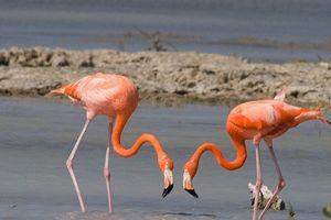 Sự thật thú vị quanh loài chim hồng hạc gây tò mò