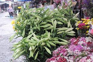 Choáng váng giá cực chát của hoa loa kèn đầu mùa