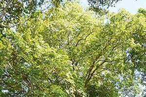 Cây trôm trên 100 tuổi được công nhận là cây di sản