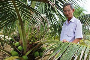 Kiếm bộn tiền từ trồng dừa xiêm lùn da xanh trên cát