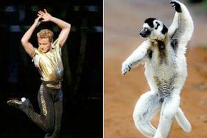 Vượn cáo khiêu vũ như vũ công chuyên nghiệp