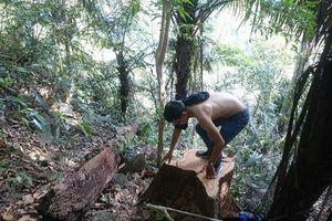 Lâm tặc chặt hạ gỗ trong khu bảo tồn thiên nhiên