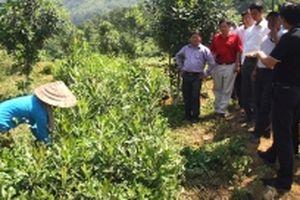 Triển vọng cây mắc-ca tại Lai Châu