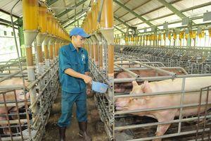 Nhiều nước muốn nhập khẩu thịt heo của Việt Nam