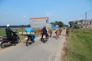 Thừa Thiên Huế: Trâu, bò thả rông - mối nguy tai nạn giao thông