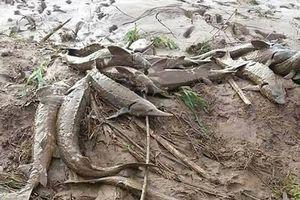 Trại cá tầm 20 tỷ 'vỡ' do bão: Dân đổ xô đi bắt