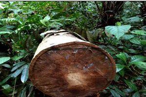 Kon Tum phát hiện nhiều vụ bãi gỗ lậu tại khu vực biên giới