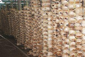 Hình ảnh choáng ngợp trong trang trại nấm bạc tỷ của nông dân Việt