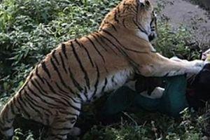 Nga: 10 phút kinh hoàng của người chăm sóc hổ bị hổ cắn xé