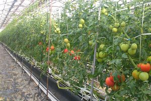 'Lạc trôi' vào vườn cà chua Hoàng gia Nhật Bản đắt đỏ