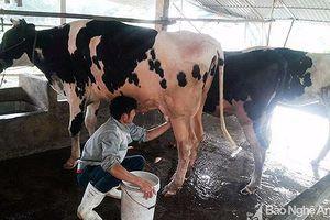 Triển vọng nghề nuôi bò sữa ở Quỳnh Lưu
