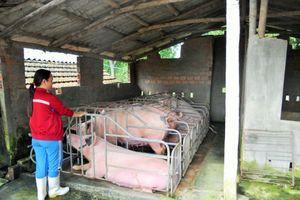Bình Định: Lùm xùm việc thống kê thiệt hại gia súc, gia cầm