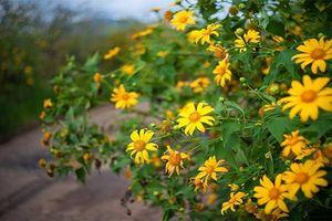 Tháng 12, lên Đà Lạt ngắm hoa dã quỳ
