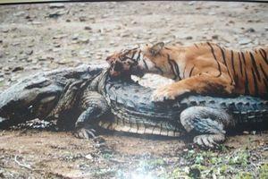 'Nữ hoàng hổ' sống 2 thập kỷ, giết chết cá sấu khổng lồ