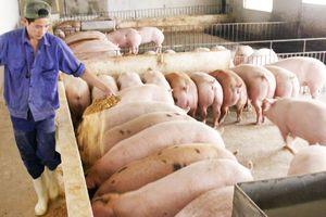 Liên kết chăn nuôi theo chuỗi giá trị: Gỡ khó từ chính sách