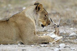 Lạ lùng hình ảnh sư tử âu yếm, che chở cho linh dương con