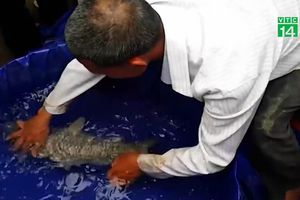 Vây bắt con cá chép lạ gây xôn xao vùng quê Nghệ An mấy ngày Tết