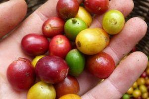 Giá nông sản hôm nay 23/2: Giá cà phê giảm tiếp 100 đồng/kg, giá tiêu ít biến động
