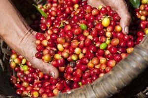 Giá nông sản hôm nay 24/2: Giá cà phê giảm tiếp 100 đồng/kg, giá tiêu ít biến động