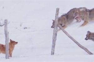 Chó nhà phá vòng vây, thoát thân giữa bầy sói hung hãn