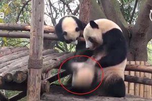 Phì cười clip gấu trúc mẹ đối xử với con cực 'phũ phàng'