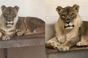 Vườn thú 'phát hoảng' vì sư tử cái biến thành sư tử đực