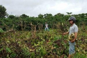 Cần ngăn chặn và xử nghiêm nạn phá hoại cây trồng ở Đác Lắc