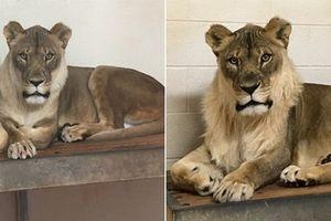 Vườn thú lo khi sư tử cái ngày càng trở nên 'nam tính'