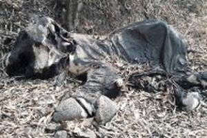 Phát hiện một cá thể voi rừng chết tại Đác Nông