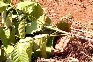 Đắk Lắk: Hàng trăm cây cà phê bị kẻ gian chặt phá