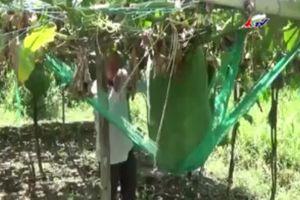 Bí ẩn vùng đất trồng được loại bí nặng trăm kg