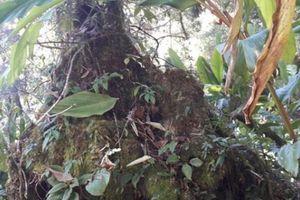 Clip: Rừng cổ thụ nguyên sinh độ cao 2.000m bị thảo quả 'xâm lược'