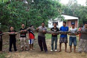 Cận cảnh trăn khổng lồ gần 10 người mới khiêng nổi ở Malaysia