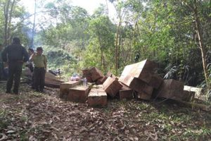 'Tuýt còi' hơn 30 khối gỗ trái phép