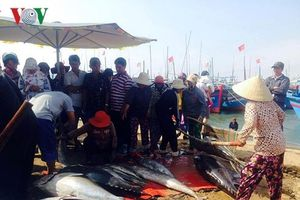Ngư dân Phú Yên đầu năm trúng đậm cá ngừ đại dương