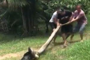 Kịch tính cảnh giải cứu chó bị trăn khổng lồ kéo xuống nước
