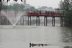 Đàn vịt bơi tung tăng 'thế chỗ' thiên nga ở Hồ Gươm?