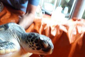 Thả cá thể rùa biển quý hiếm về lại môi trường biển