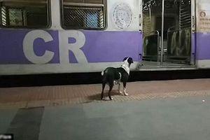Thương cảm chú chó cô đơn ngày ngày ra bến tàu chờ đợi chủ