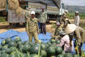 Dân 'du mục' bỏ vốn khủng thuê đất trồng dưa, nhận trái ngọt