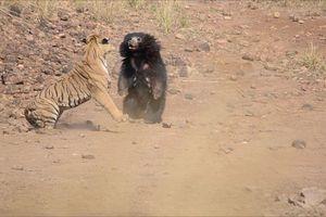 Kịch chiến 'không hẹn trước' của gấu mẹ với hổ hung dữ