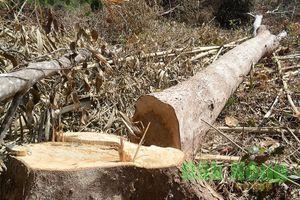 Khởi tố vụ án, bắt tạm giam 5 đối tượng tàn phá hàng chục hecta rừng ở Đắk Nông