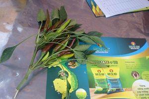 Bón phân đúng cách, lợi nhuận trồng ớt thấy rõ