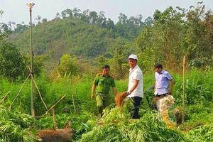 Phát hiện, tiêu hủy hơn 7.000 cây cần sa trồng trái phép tại Đắk Nông