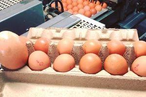 Australia: 'Quả trứng gà khổng lồ' theo kiểu trứng lồng trứng