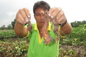 Kẻ xấu phun thuốc diệt khoai lang là người địa phương?