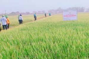 Sức hút của lúa OM 9582 với nhà nông ở vựa lúa lớn nhất cả nước